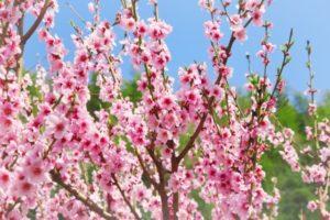 ひな祭りが「桃の節句」と呼ばれるのはなぜ?桃の花を飾る意味は?